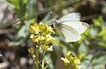 Pieris ergane - Dağ küçük beyazmeleği 01.jpg