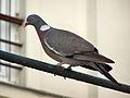 Pigeon ramier 2.JPG