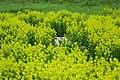 Piglets amongst rapeseed (36189915965).jpg