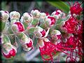 PikiWiki Israel 28689 reddish cluster of flowers.jpg