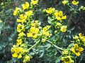PikiWiki Israel 30938 Ruta graveolens Blossoms.jpg
