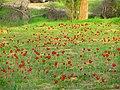 PikiWiki Israel 34505 Plants of Israel.JPG