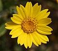 PikiWiki Israel 3634 Chrysanthemum Segetum - Yellow Cornflower.jpg