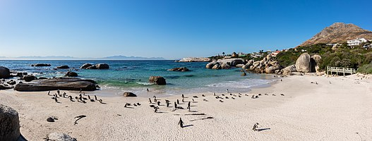 Panoramic view of the famous African penguins (Spheniscus demersus) colony in Boulders Beach, Simon's Town, South Africa.