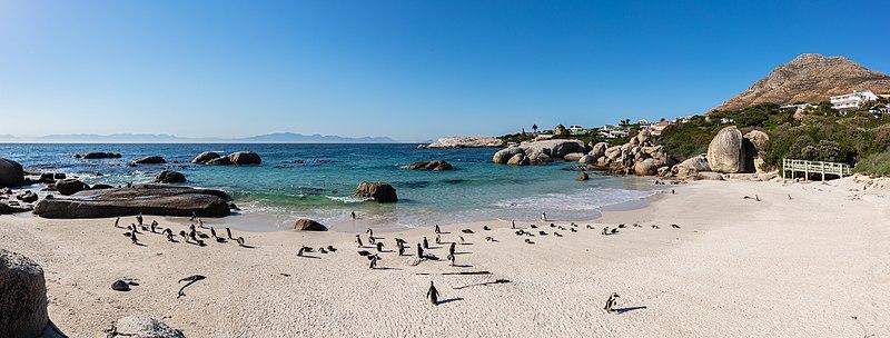 File:Pingüinos de El Cabo (Spheniscus demersus), Playa de Boulders, Simon's Town, Sudáfrica, 2018-07-23, DD PAN 40-42.jpg