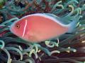 Pink Anemonefish (8 cm).png