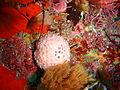 Pink ball sponge, South East Bay, Three Kings Islands PA121455.JPG