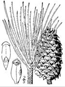 Pinus ponderosa drawing.png