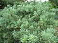 Pinus sylvestris (2144974856).jpg