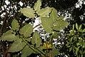 Piper auritum 41zz.jpg