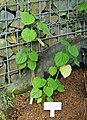 Piper umbellatum (Piper postelsianum) - Shinjuku Gyo-en Greenhouse - Tokyo, Japan - DSC05916.jpg