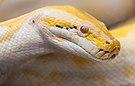 Pitón de la India (Python molurus), Zoo de Ciudad Ho Chi Minh, Vietnam, 2013-08-14, DD 08.JPG