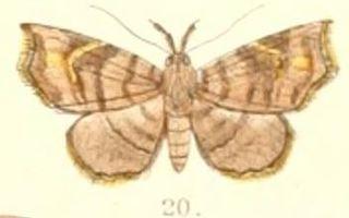 <i>Egnasia</i> Genus of moths