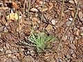 Plantago coronopus Habitus 2010-5-26 DehesaBoyaldePuertollano.jpg