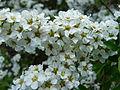 Plante inconnue fleurs blanches (9).JPG