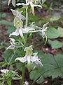Platanthera montana sl5.jpg