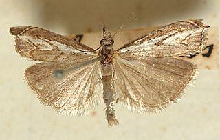 <i>Platytes</i> Genus of moths