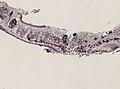 Pleioplana atomata (YPM IZ 073711) 25.jpeg