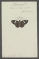 Plesioneura - Print - Iconographia Zoologica - Special Collections University of Amsterdam - UBAINV0274 054 13 0002.tif