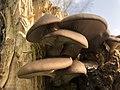 Pleurotus ostreatus 99965831.jpg