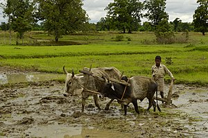 Ard (plough) - Image: Ploughing paddy field with oxen, Umaria district, MP, India