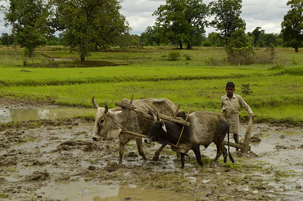 Ploughing paddy field with oxen, Umaria district, MP, India