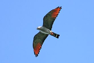 Plumbeous kite - Plumbeous kite in flight