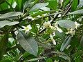 Plumeria alba 0002.jpg