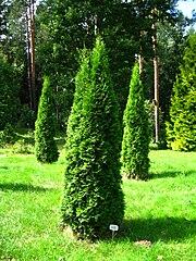 file podlaskie suprasl kopna gora arboretum thuja occidentalis 39 smaragd 39 plant jpg. Black Bedroom Furniture Sets. Home Design Ideas