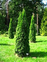 Podlaskie - Suprasl - Kopna Gora - Arboretum - Thuja occidentalis 'Smaragd' - plant.JPG