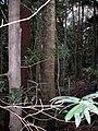 Podocarpus elatus & Symplocos stawellii Hacking River.JPG