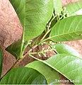Pogonophora schomburgkiana, cocão - Flickr - Tarciso Leão (14).jpg