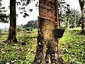 Pokok Getah.jpg