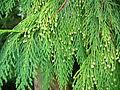 Pollen cones, Chamaecyparis lawsoniana (Lawson's Cypress).jpg
