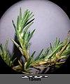 Polycnemum majus sl21.jpg