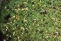 Polytrichastrum alpinum (b, 113306-471149) 0228.JPG
