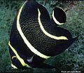 Pomacanthus paru juvenil.jpg