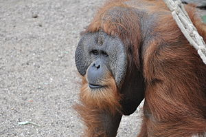 Sumatran orangutan - Close-up of an adult male