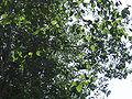PopulusCanadensisLEAF.jpg