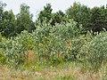 Populus alba Topola biała 2020-06-29 01.jpg