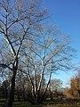 Populus alba sl2.jpg