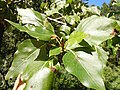 Populus balsamifera (5002379151).jpg