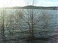 Populus canescens 2010-2-06 LagunadeCanadaCalatrava.jpg