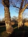 Populus nigra sl7.jpg