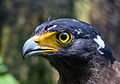 Portrait of crested serpent eagle (Spilornis cheela), Gembira Loka Zoo, Yogyakarta, 2015-03-15 02.jpg