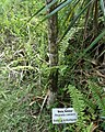 Poupartia castanea - Grande Montagne 1.jpg