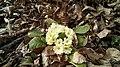 Primula vulgaris - 01.jpg