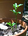 Probable Citrus sinensis × Citrus trifoliata (citrange) seedlings 01.jpg
