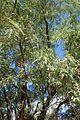 Prosopis glandulosa var torreyana kz1.jpg