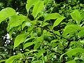 Prunus americana Syrets2.JPG